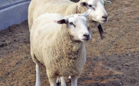 特克赛尔羊的缺点与优点介绍-肉用绵羊品种