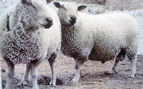 夏洛来肉羊的缺点与优点介绍-肉用绵羊品种