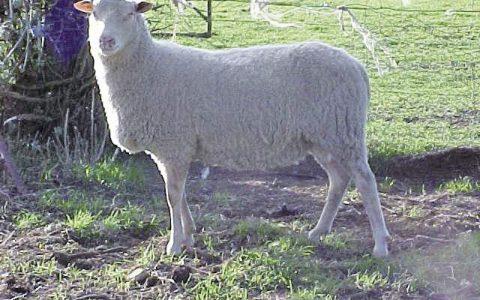 兰德瑞斯羊的缺点与优点介绍-肉用绵羊品种