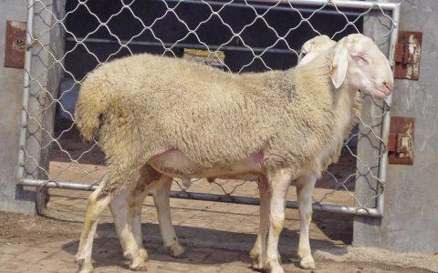 小尾寒羊的缺点与优点介绍-肉用绵羊品种
