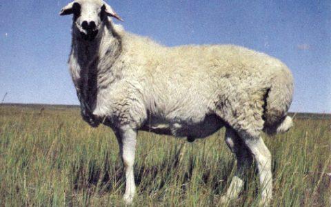 乌珠穆沁羊的缺点与优点介绍-肉用绵羊品种