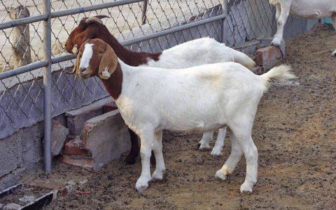 波尔山羊的缺点与优点介绍-肉用山羊品种