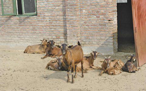 南江黄羊的缺点与优点介绍-肉用山羊品种