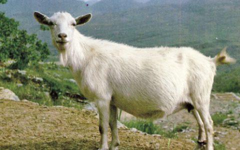 马头山羊的缺点与优点介绍-肉用山羊品种