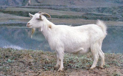 陕南白山羊的缺点与优点介绍-肉用山羊品种