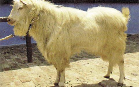 鲁北白山羊的缺点与优点介绍-肉用山羊品种