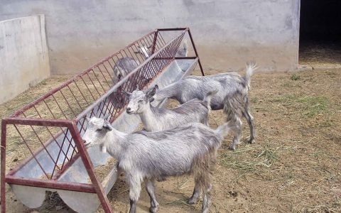 济宁青山羊的缺点与优点介绍-肉用山羊品种