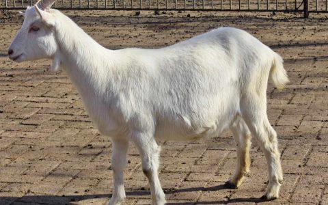 崂山奶山羊的缺点与优点介绍-奶用山羊品种