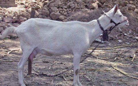 关中奶山羊的缺点与优点介绍-奶用山羊品种