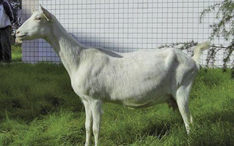 萨能山羊的缺点与优点介绍-奶用山羊品种