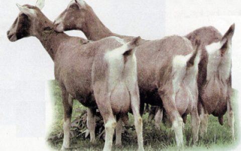 吐根堡山羊的缺点与优点介绍-奶用山羊品种