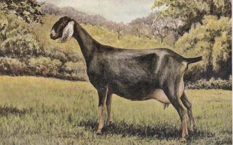 努比亚山羊的缺点与优点介绍-奶用山羊品种