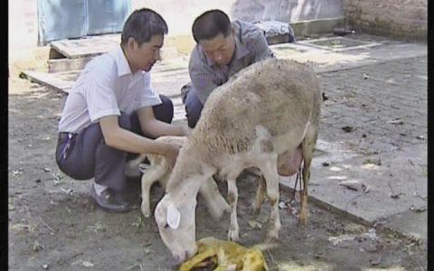 羊生羊如何接羔及注意事项