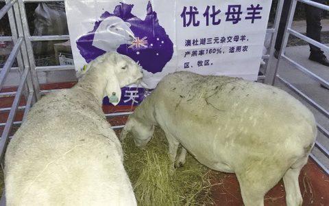 繁殖母羊的饲养管理技术要点