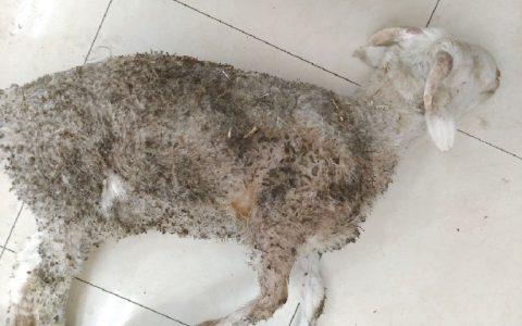羊炭疽(病羊突然倒地,全身抽搐、磨牙、呼吸困难)的症状与治疗方法