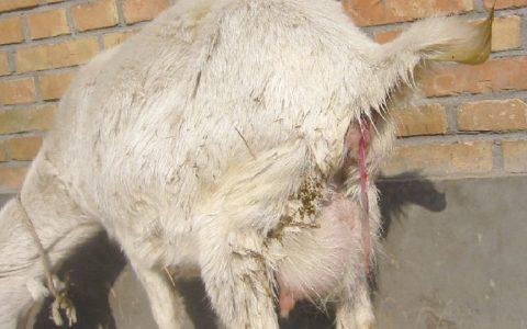 羊流产沙门氏菌病(子宫炎和流产)的症状原因及治疗方法