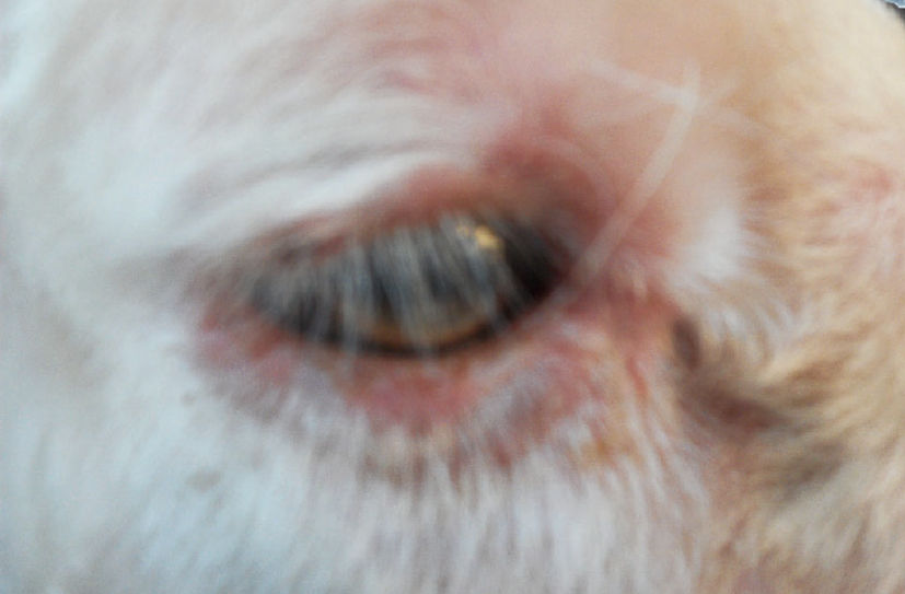 羊痘(精神不振,食欲减退,拱腰发抖,眼睛流泪)症状原因及治疗方法