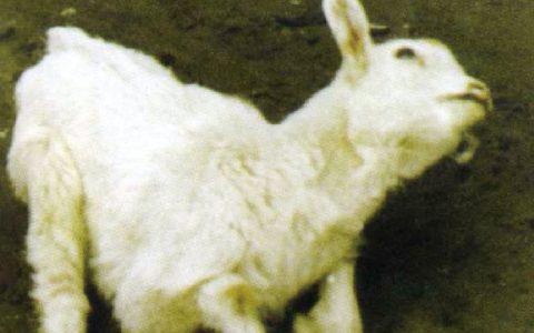 山羊病毒性关节炎-脑炎(精神沉郁,随即四肢僵硬,共济失调)症状原因及治疗方法