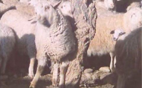 """羊痒病(""""驴跑病""""""""摩擦病""""""""瘙痒病"""")症状原因及治疗方法"""
