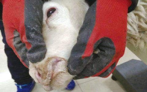 小反刍兽疫俗称羊瘟(发热、口炎、腹泻、肺炎)症状原因及治疗方法