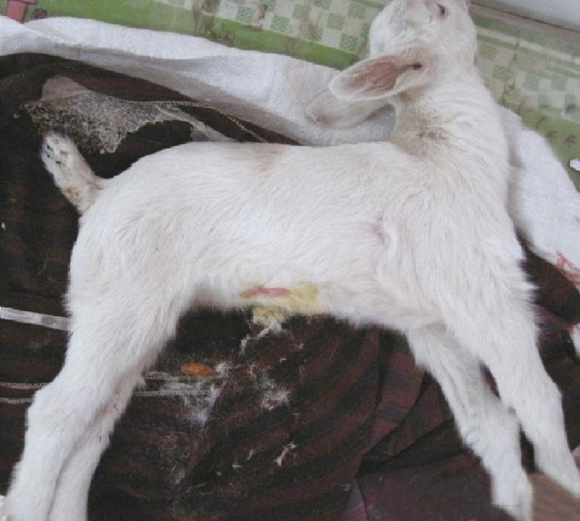 羊破伤风(锁口风、耳直风)症状原因及治疗方法
