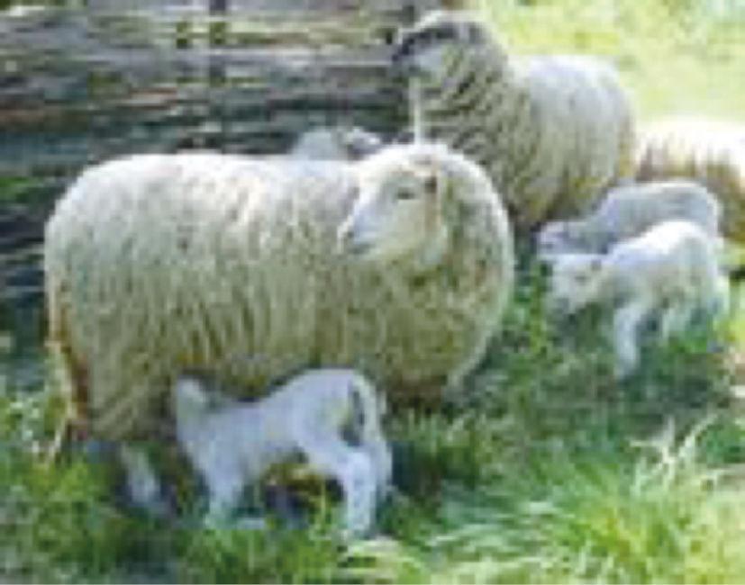 羊附红细胞体病(羊的贫血、生长缓慢,母羊的生殖障碍)症状原因及治疗方法
