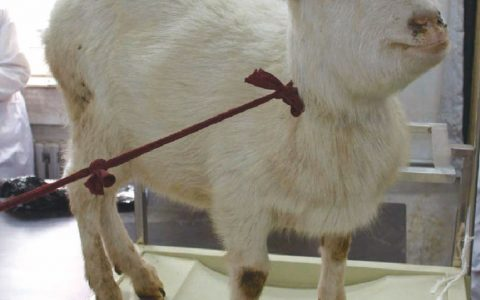 羊支气管炎(咳嗽及呼吸困难)症状原因及诊断治疗方法