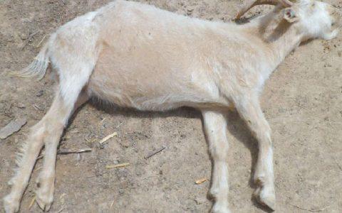羊突然休克是原因如何治疗