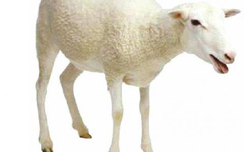 羊风湿病(关节肿大,体温升高,突然跌倒,不能起立)症状原因及诊断治疗方法