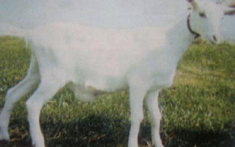 羊疝气(脐疝和腹股沟阴囊疝)症状原因及诊断治疗方法