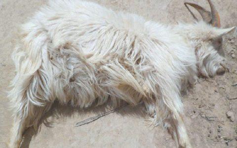 母羊产后败血症的症状原因及诊断治疗方法