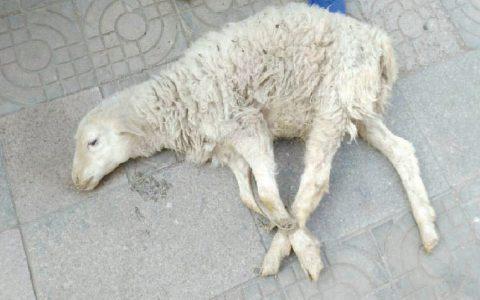 羊白肌病(羔拱背、四肢无力、运动困难、喜卧)症状原因及诊断治疗方法
