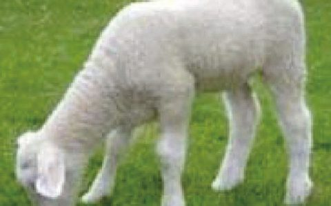 羊佝偻病(生长迟缓,异嗜,喜卧,卧地起立缓慢)症状原因及诊断治疗方法