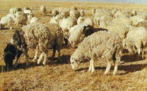 羊食毛症/舔食羊毛症状原因及诊断治疗方法
