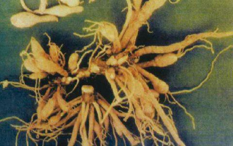 羊吃有毒萱草根中毒(黄花菜根、金针菜根)症状原因及诊断治疗方法