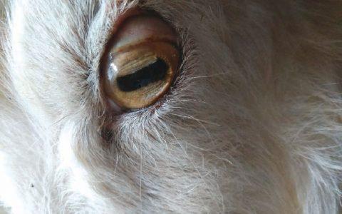 羊铜中毒症状原因及诊断治疗方法