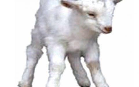 羊铜缺乏病症状原因及诊断治疗方法