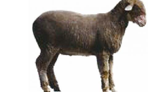 羊氟中毒症状原因及诊断治疗方法