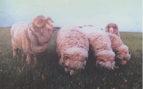 中国美利奴羊的缺点与优点介绍-细毛羊品种