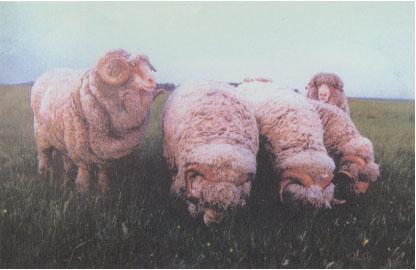 中国美利奴羊(公羊)