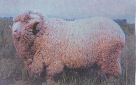 新疆细毛羊缺点与优点介绍-细毛羊品种
