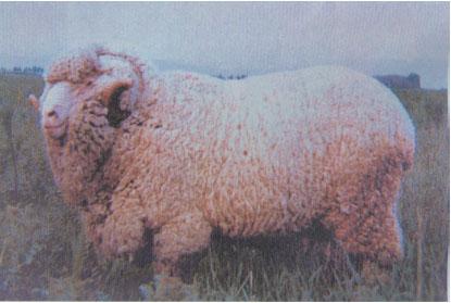 新疆细毛羊(公羊)