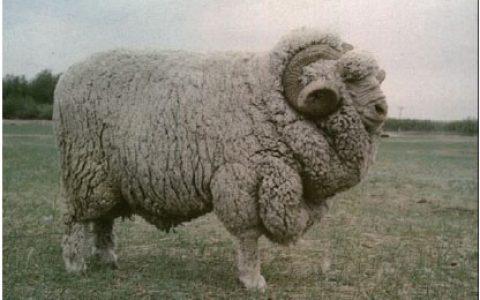 东北细毛缺点与优点讲解-细毛羊品种