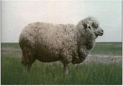 东北细毛羊(母羊)