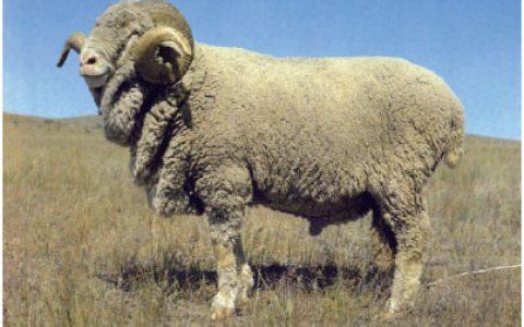 内蒙古细毛羊缺点与优点讲解-细毛羊品种