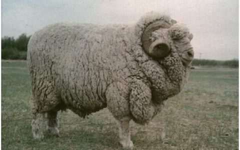 甘肃高山细毛羊缺点与优点讲解-细毛羊品种