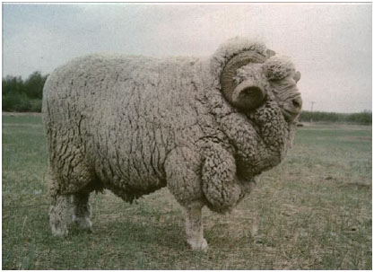 甘肃高山细毛羊(公羊)