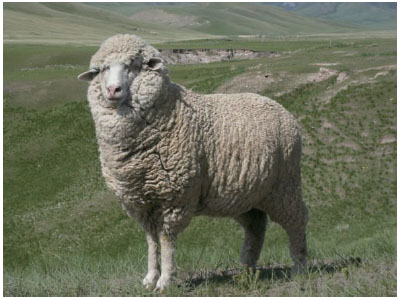 甘肃高山细毛羊(母羊)