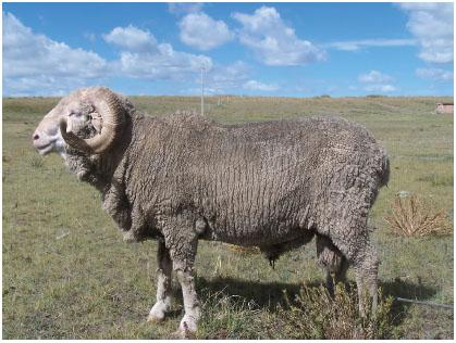 青海细毛羊(公羊)