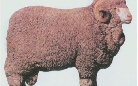 澳洲美利奴羊缺点与优点讲解-细毛羊品种